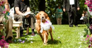Perros en Bodas llevando los anillos