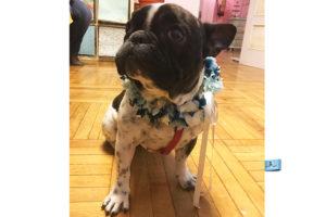 corona de flores preservadas para perros
